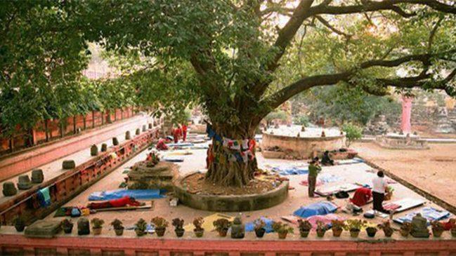 maha bodhi tree picture